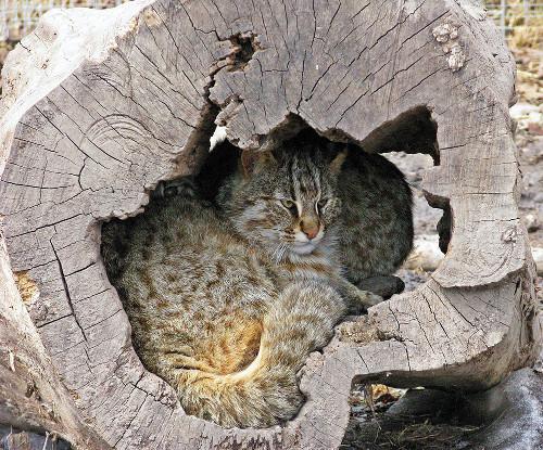 домик диких кошек